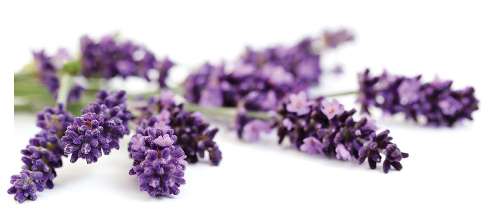 Clipart lavender